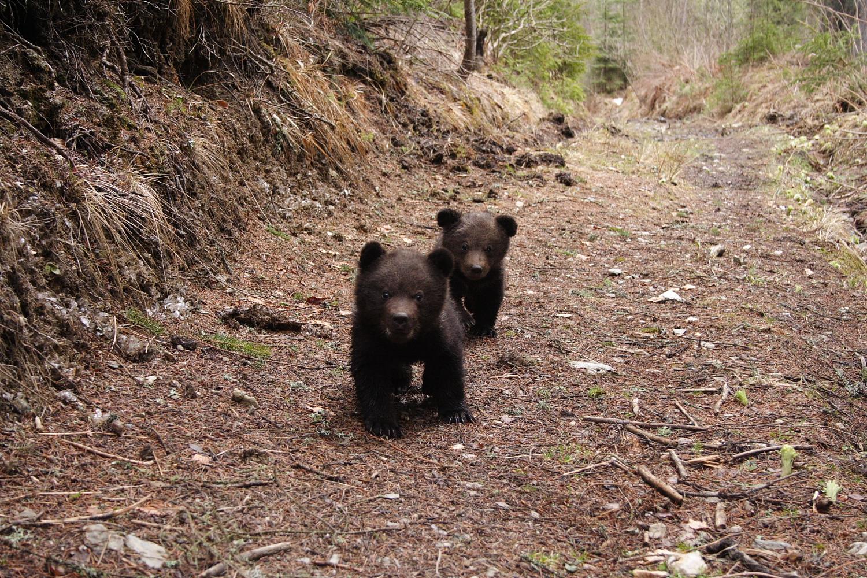 WWF România angajează un purtător de cuvânt pentru ursuleții orfani